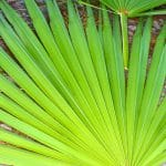 saw palmetto dosage