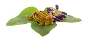 what is mucuna pruriens